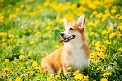 Pembroke Welsh Corgi Dog Puppy Sitting In Green Summer Grass