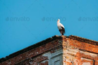 European White Stork Standing On Wall Of Old Ruined Orthodox Chu