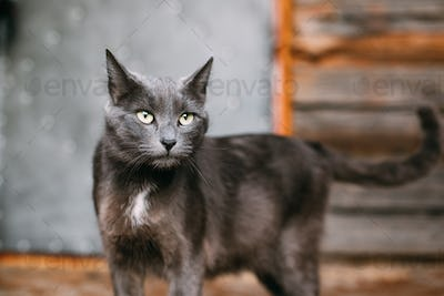 Portrait Of Russian Blue Cat Kitten On Old Village Rustic House