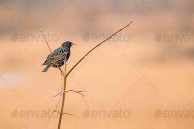 Wild Forest Bird Common Starling Sitting In Branch Tree In Sprin