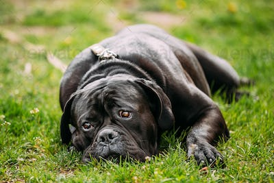 Black Young Cane Corso Dog Sit On Green Grass Outdoors. Big Dog