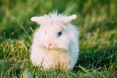 Dwarf Lop-Eared Decorative Miniature White Fluffy Rabbit Bunny I