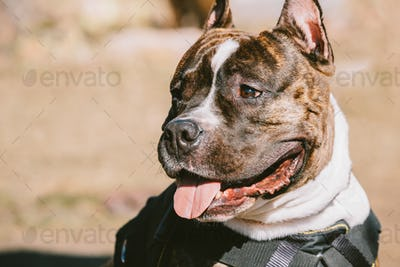 Close Up Of Beautiful Dog American Staffordshire Terrier