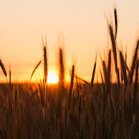 Silhouettes Of Wheat Against Background Of Scenic Country Summer