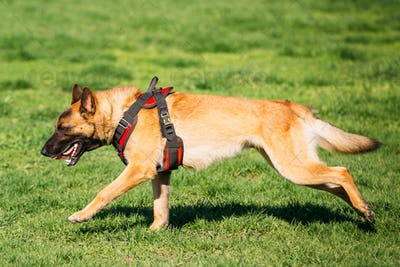 Malinois Dog Running Outdoors In Green Summer Grass At Training.