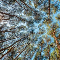 Canopy Of Pines Trees. Upper Branches Of Woods In Coniferous For