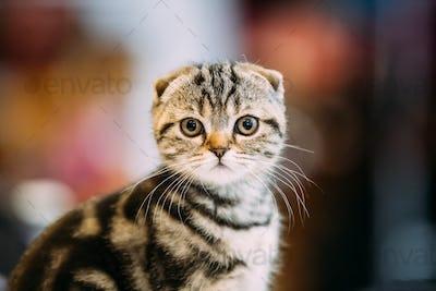 Small Cute Gray Scottish Fold Cat Kitten Indoor