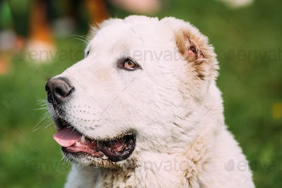 Potrait Of Central Asian Shepherd Dog. Alabai - An Ancient Breed