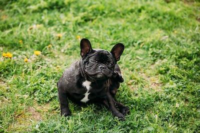 Young Black French Bulldog Puppy Dog Sitting On Grass