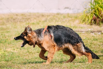 Anger Aggressive Long-Haired German Shepherd Adult Dog, Alsatian