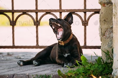 Funny Black Small Size Mixed Breed Puppy Dog Yawning Outdoor