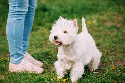 West Highland White Terrier Dog Sitting At Feet Of Owner In Gree