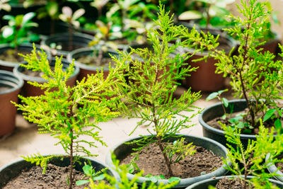 Green Sprouts Of Spruce Or Fir-tree Tree Plant With Leaf, Leaves