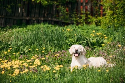 Funny Young Happy Labrador Retriever Sitting In Grass And In Yel
