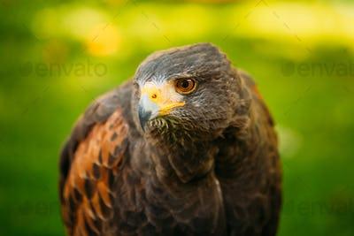The Harris's hawk (Parabuteo unicinctus) is a medium-large bird