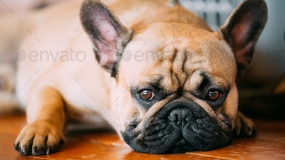 The French Bulldog is a small breed of domestic dog