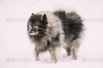 Keeshond Dog Play Outdoor In Snow. Winter Season. Dog Training O
