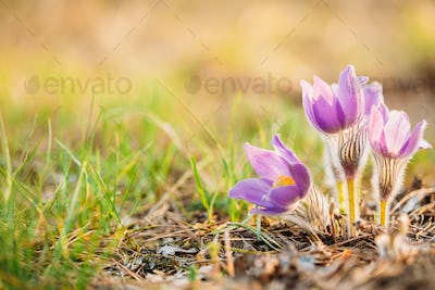 Wild Young Pasqueflower In Early Spring.  Flowers Pulsatilla Pat