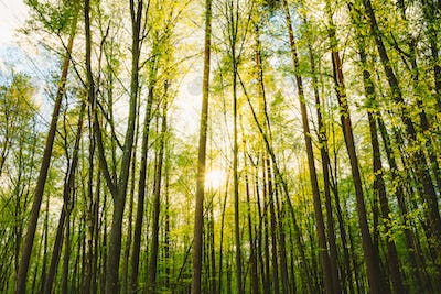 Sun Shining Through Trunks Of Tall Trees Woods In Forest In Euro
