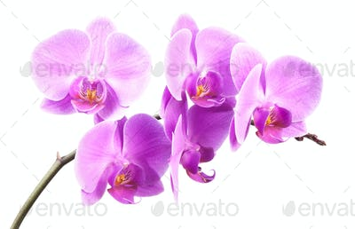 pink streaked orchid