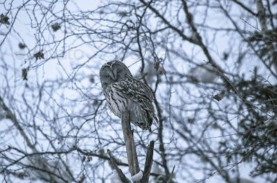 Ural owl in natural habitat - strix uralensis