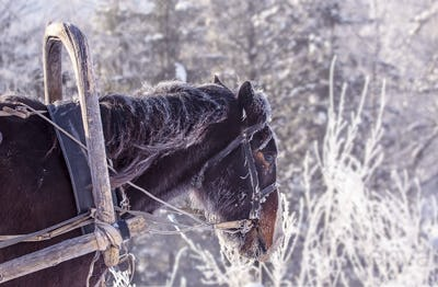 Portrait of a handsome stallion horse winter outdoors