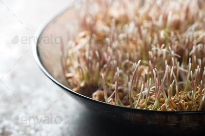 Grain sprouted wheat closeup, healthy food partial blur