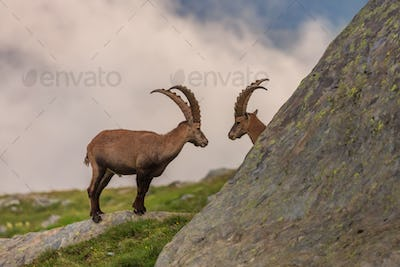 Ibex , Range of Mont-Blanc, French Alps