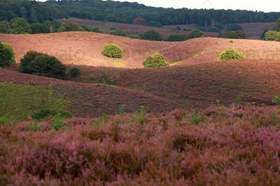 sunlight and shadow on heather flowering hills