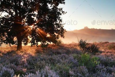 sunbeams through oak tree over heather flowers