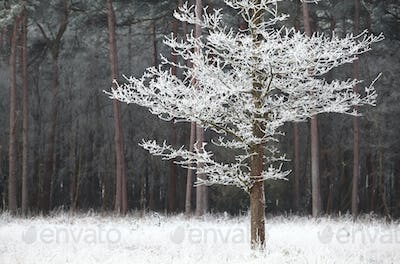 frosted tree on white meadow