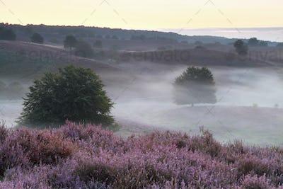 flowering hills in morning fog