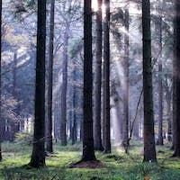 sunbeams in foggy coniferous forest