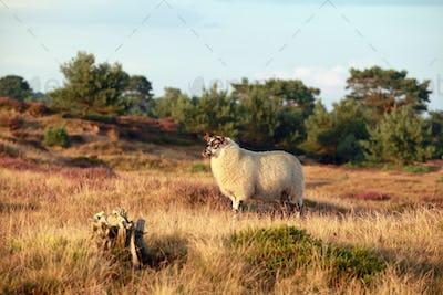 sheep on sunny summer heathland