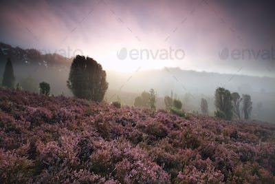 foggy sunrise over hills with heather flowers