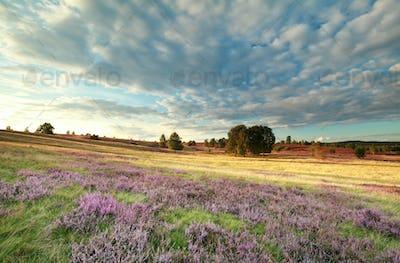 heather flowers and beautifuk sky