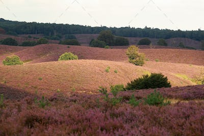 sunlight over hills with pink heather