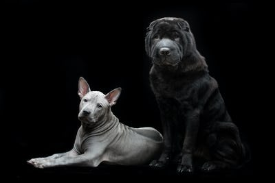 Beautiful dogs on black background