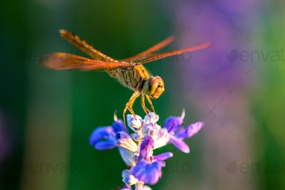Dragonfly on blue flower in the garden