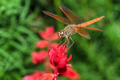Dragonfly on red flower in the garden closeup