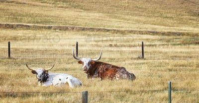 Two Texas Longhorns resting on a dry autumn meadow