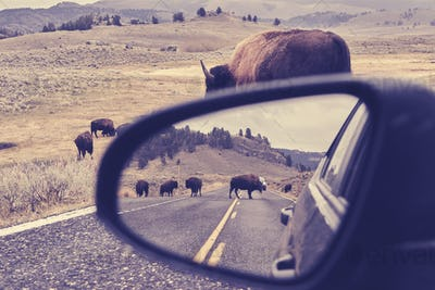 American bison on a road reflected in wing mirror.