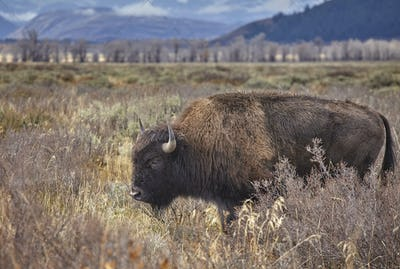 American bison grazing in the Grand Teton National Park, Wyoming