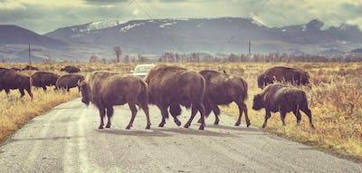 Retro toned Herd of American bison crossing road at sunrise, Wyo