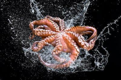 Fresh Octopus