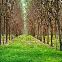 Para rubber tree garden in south of Thailand