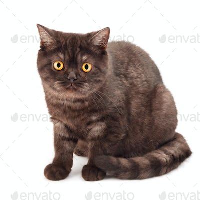 British chocolate cat