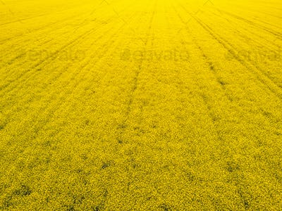 Aerial view of cultivated rapeseed field from drone pov