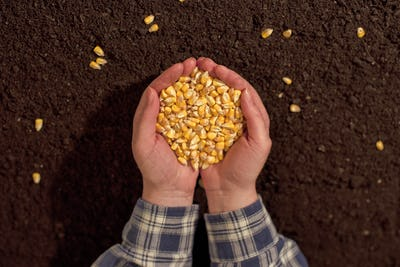 Handful of harvested corn seed