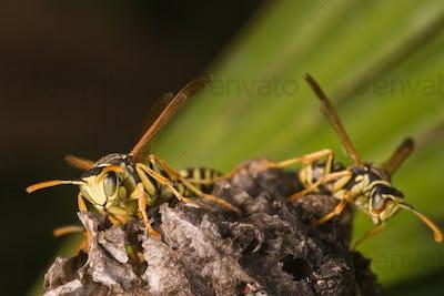 Wasps Polistes bischoffi ( Weyrauch, 1937 )